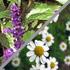 Чай «Ароматный» сбор цветков ромашки и листьев шалфея. Клуб АСК