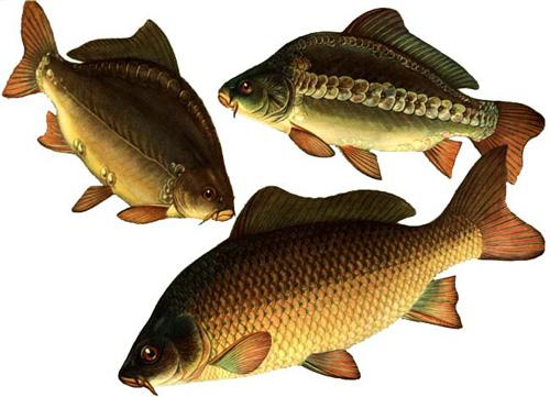 Карп может весить 0,5 кг, однако можно поймать рыбу и весом 10-12 кг